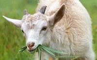 Goats on the Harmony Trail